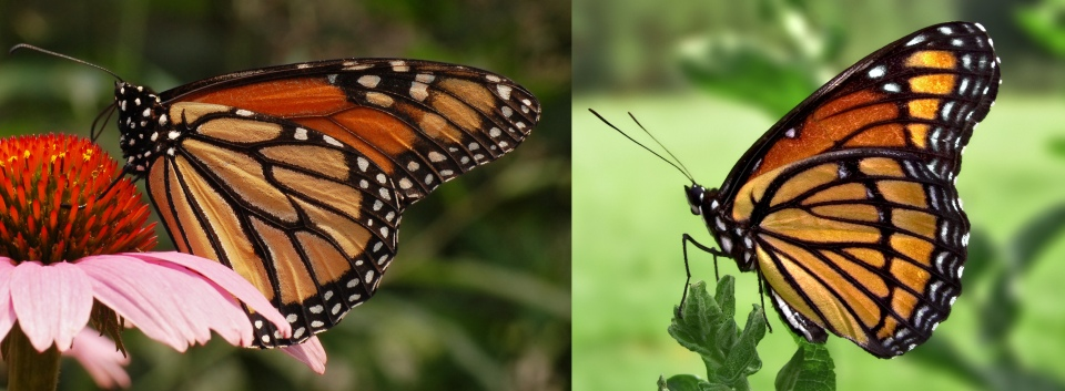 viceroy_monarch_mimicry_comparison