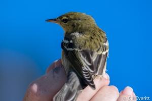 Blackpoll Warbler - Steophaga striata Jekyll Island, GA - October, 2016