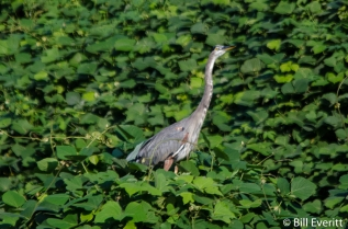 Great Blue Heron in the Kudzu on the South Fork