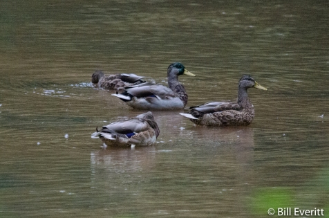 Mallards on the South Fork