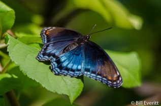 Red-spotted Purple on apple tree (host plant)