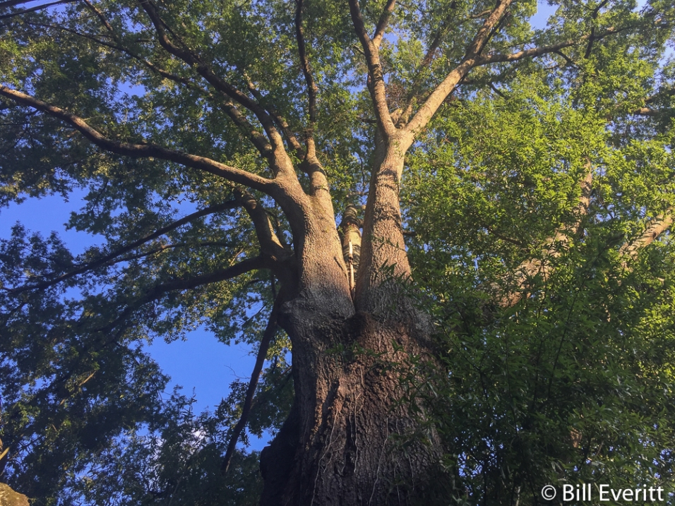 "Magnificent White Oak in Peachtree Park - 16'-9"" circumference"