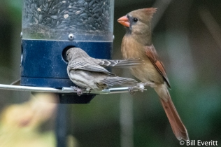 House Finch and Northern Cardinal