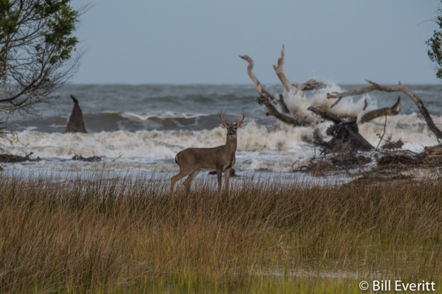 Deer on the north end of Jekyll