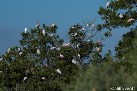 Wood Storks and Roseate Spoonbills near the toll booth