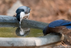 White-breasted Nuthatch and Eastern Bluebird