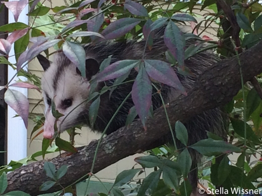 Possum in the trees