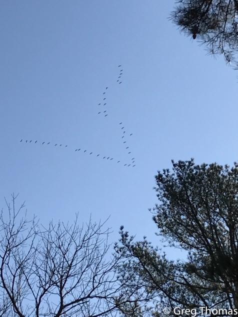 Sandhill Cranes over Peachtree Park