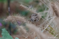 Song Sparrow - Melospiza melodia Peachtree Park, Atlanta, GA - January, 2016
