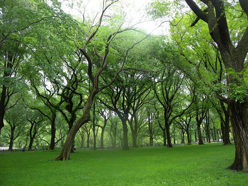 Elms in Central Park 2011