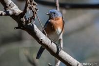 Eastern Bluebird- Sialia sialis