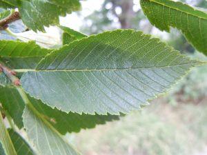 elm-leaf