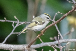 Golden-crowned Kinglet - Regulus