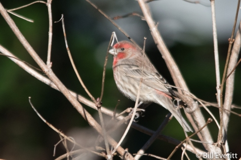 House Finch - Haemorhous mexicanus