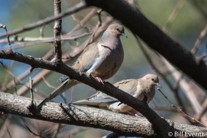 Mourning Doves - Zenaida macroura
