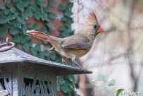 Northern Cardinal (female) - Cardinalis cardinalis