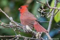 Northern Cardinal (male) - Cardinalis cardinalis