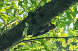 Red-bellied Woodpecker in Darlington Rd. White Oak