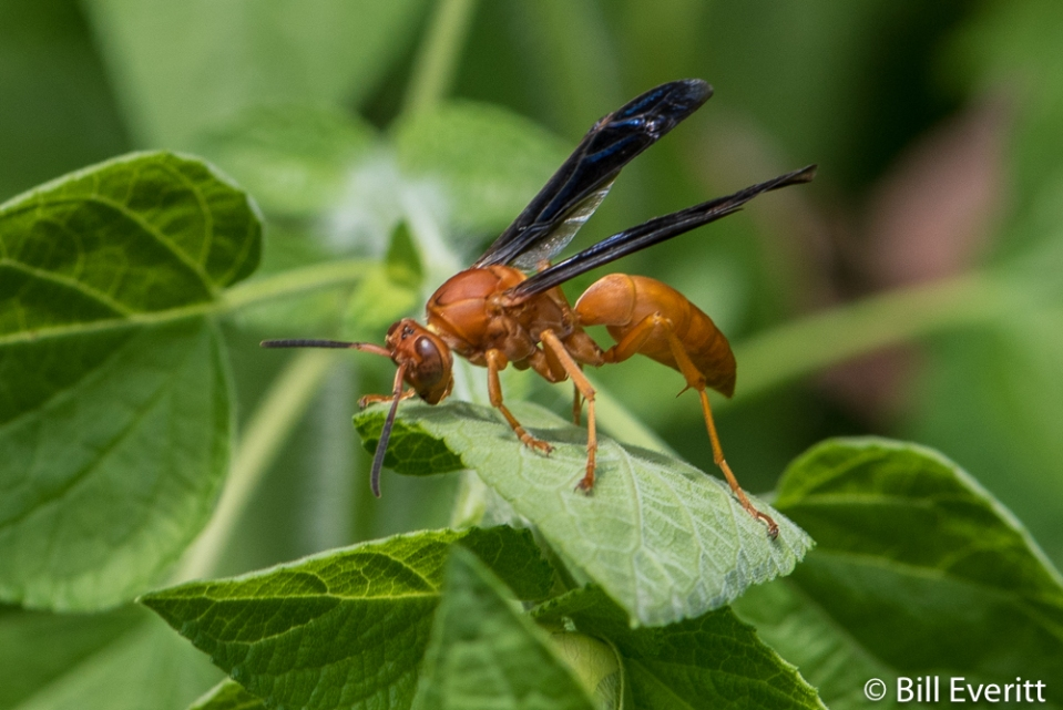 Red Paper Wasp - Polistes carolina