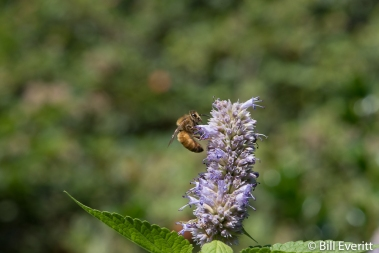 Honey Bee on Ansie Hyssop