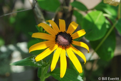 Black-eyed Susan in July