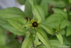 Black-eyed Susan in May