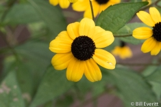 Black-eyed Susan in September