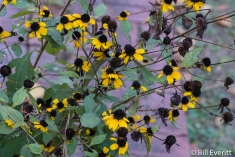 Black-eyed Susan in October