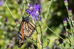 Monarch Butterfly Geogria Aster