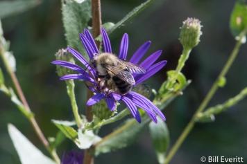 Native Bee on Georgia Aster