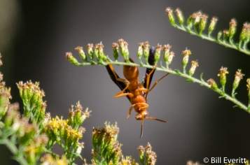 Red Paper Wasp on Goldenrod
