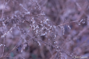 Goldenrod in January