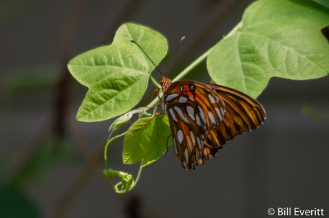 Gulf Fritillary on Yellow Passion Vine