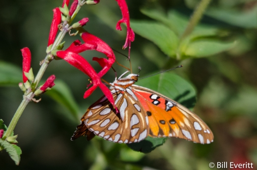 Gulf Fritillary on Pineapple Sage