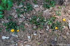 Mouse Ear Coreopsis