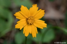 Mouse Ear Coreopsis4