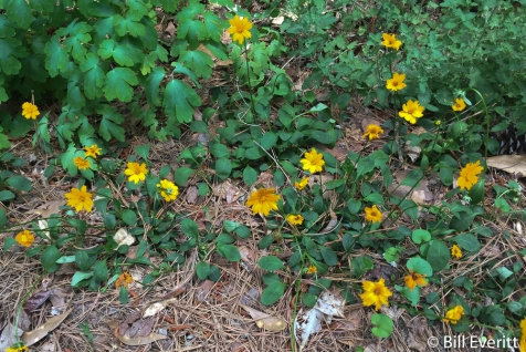 Mouse Ear Coreopsis5