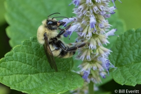 Native Bee on Ansie Hyssop