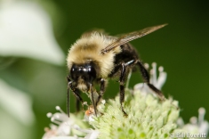 Native Bee on Mountain Mint