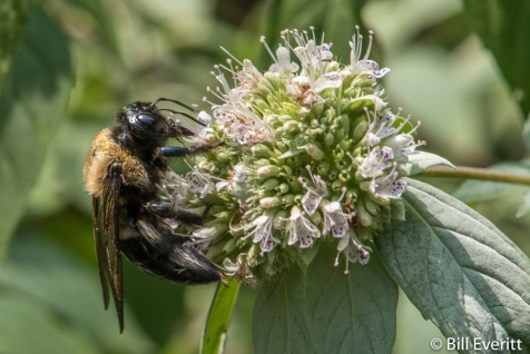 Native Bee on Mountain Mint