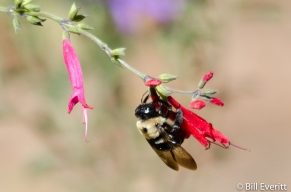 Native Bee on Pineapple Sage