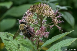 Native Bee on Joe-pye Weed