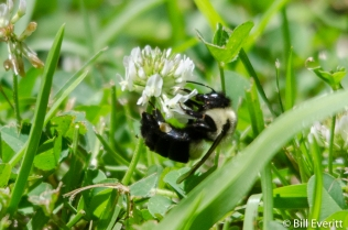 Native Bee on White Clover