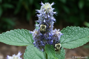 Native Bees on Ansie Hyssop