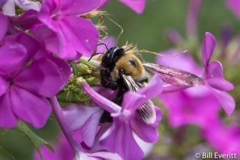 Native Bee on Phlox