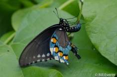Pipevine Swallowtail laying eggs on Pipevine