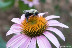 native Bee on Purple Coneflower