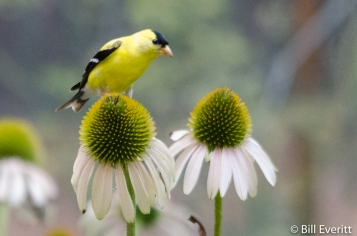 American Goldfinch on Purple Coneflower