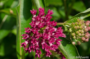 Asclepias purpurascens