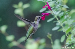 Ruby-throated Hummingbird - Archilochus colubris Peachtree Park, Atlanta, GA - July 13, 2016